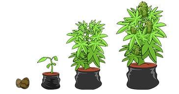 marijuana from seed to bud
