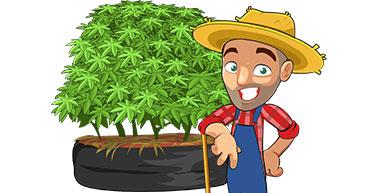marijuana growing outdoors