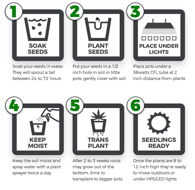 marijuana germination instructions