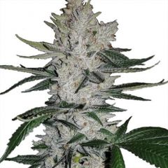 Gorilla Glue Feminized Marijuana Seeds