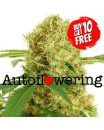 White Widow Autoflower Marijuana Seeds