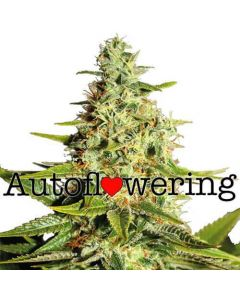 Buy Autoflower Aghan Marijuana seeds