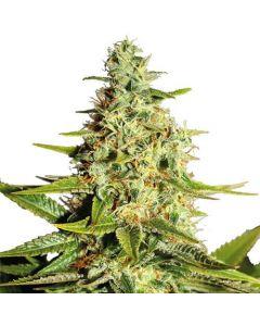Afghan Feminized Marijuana Seeds