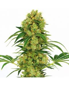 Big Bud Feminized Marijuana Seeds