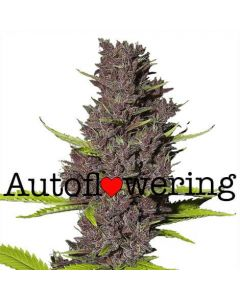 Blue Dream Autoflower Marijuana Seeds