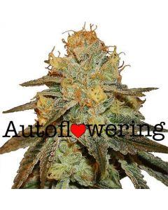 Bruce Banner Autoflower Marijuana Seeds