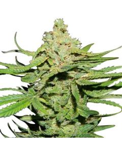 Cannatonic Feminized Marijuana Seeds