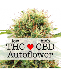CBD Kush Autoflower Marijuana Seeds