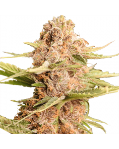 Girl Scout Cookies Extreme Autoflower Marijuana Seeds