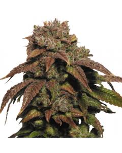 Green Crack feminized marijuana seeds