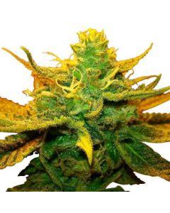 Mango Kush Feminized cannabis seeds