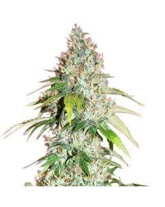Master Kush Feminized cannabis seeds