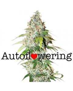 OG Kush Autoflower cannabis seeds