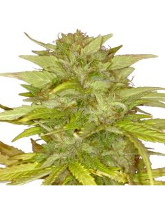 Orange Bud Feminized Marijuana seeds