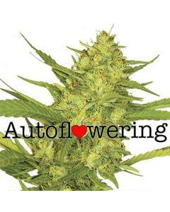 Sour Diesel Autoflower Cannabis Seeds