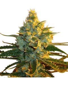 Super Lemon Haze Feminized Marijuana Seeds