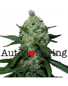 Super Skunk Autoflower Marijuana Seeds