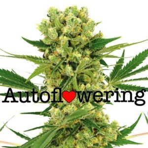 Amnesia Haze Autoflower Marijuana seeds