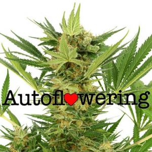 AK-47 Autoflower Marijuana Seeds