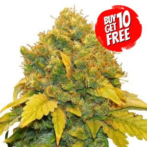 Banana Kush Feminized Marijuana Seeds