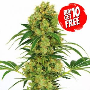 Big Bud Feminized Marijuana Seeds