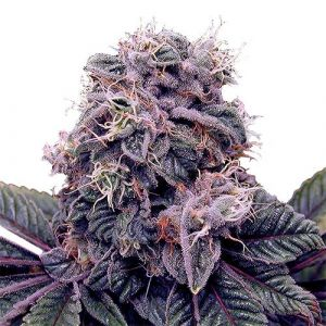 Blackberry Kush Feminized Marijuana Seeds