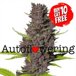 Blue Dream Autoflower Marijuana Seeds