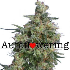 Bubba Kush Autoflower marijuana seeds