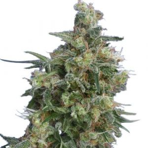 Bubba Kush Feminized Marijuana Seeds