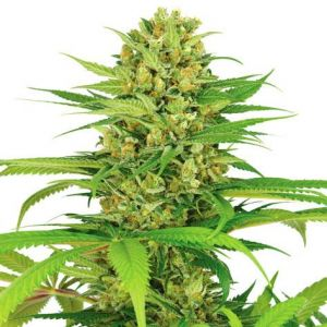 Bubblegum Feminized Marijuana Seeds