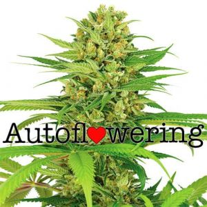 Bubblegum Autoflower Marijuana Seeds