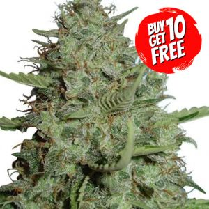 California Dream Feminized Marijuana Seeds