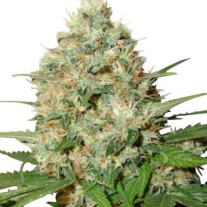Candy Kush Feminized Marijuana Seeds
