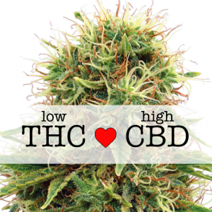 CBD Kush Feminized Marijuana Seeds