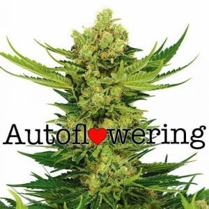 Cheese Autoflower Marijuana Seeds