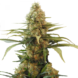 Chronic Widow Feminized Marijuana Seeds