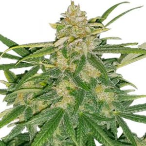 Critical Mass Feminized cannabis seeds