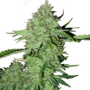 Crystal Seeds Feminized