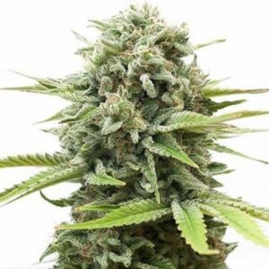 Fire OG Feminized Marijuana Seeds