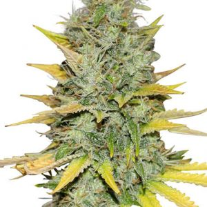 Gold Leaf Feminized Marijuana Seeds