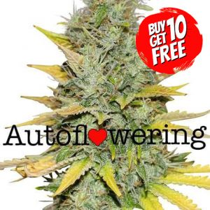 Gold Leaf Autoflower Cannabis Seeds