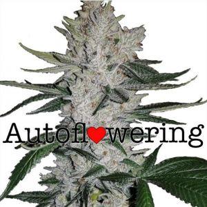 Gorilla Glue Autoflower Marijuana Seeds