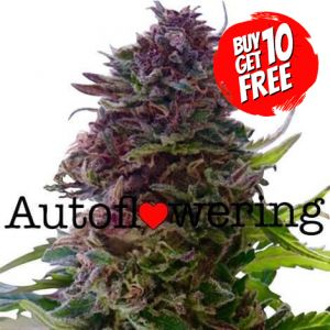 Granddaddy Purple Autoflower Marijuana Seeds