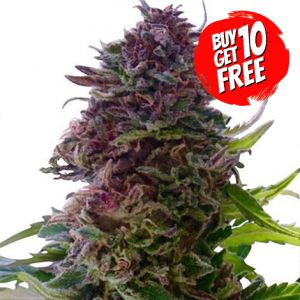Granddaddy Purple Feminized Marijuana Seeds