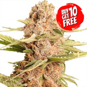 Girl Scout Cookies Extreme Autoflower Marijuana Seeds