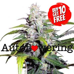 Lowryder autoflower marijuana seeds