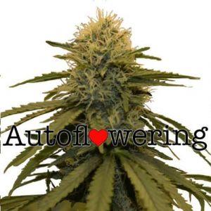 LSD Autoflower Marijuana seeds
