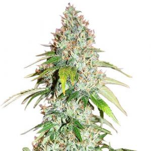 Master Kush Feminized cannabis seeds