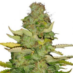 Maui Wowie Feminized marijuana seeds