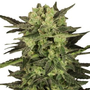 MK Ultra Feminized marijuana seeds
